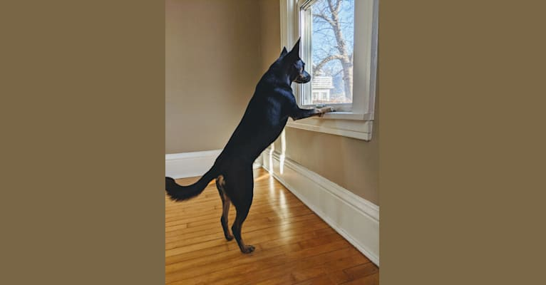 Photo of Echo, a Rat Terrier, American Pit Bull Terrier, Labrador Retriever, and Chow Chow mix in Minneapolis, Minnesota, USA