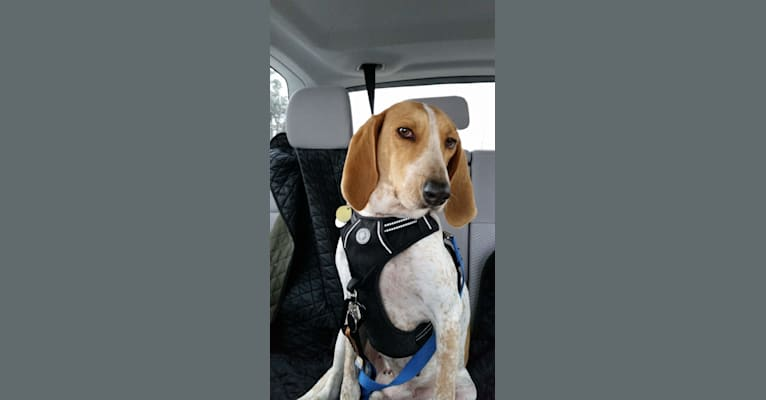 Photo of Jasper, an American English Coonhound  in South Carolina, USA