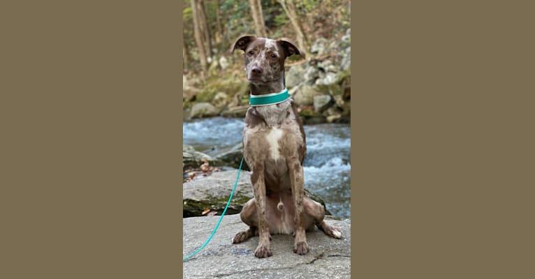 Photo of Davey Jones, an American Pit Bull Terrier, Labrador Retriever, Alaskan Malamute, Boxer, and Mixed mix in Hickory, North Carolina, USA