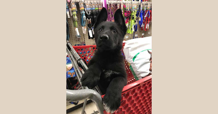Photo of Orca, a German Shepherd Dog  in Buffalo, New York, USA