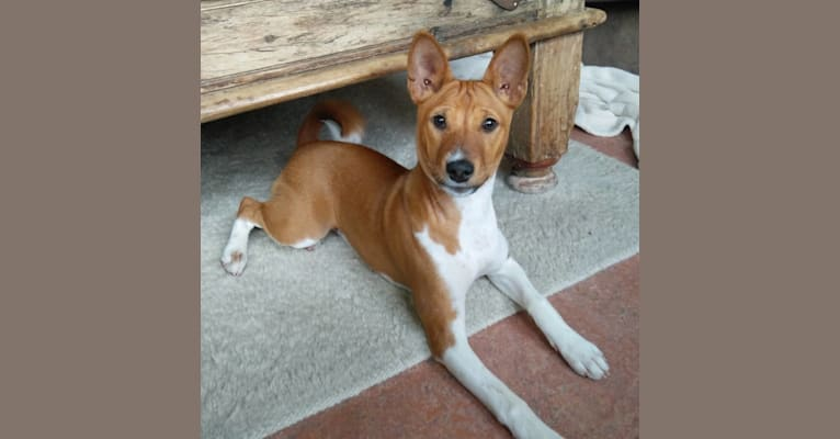 Photo of Mila, a Basenji