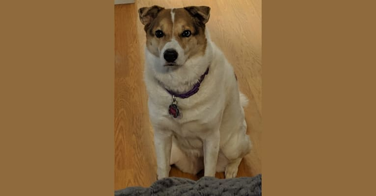 Photo of Kiba, a Jindo, German Shepherd Dog, and Mixed mix in Los Angeles, California, USA