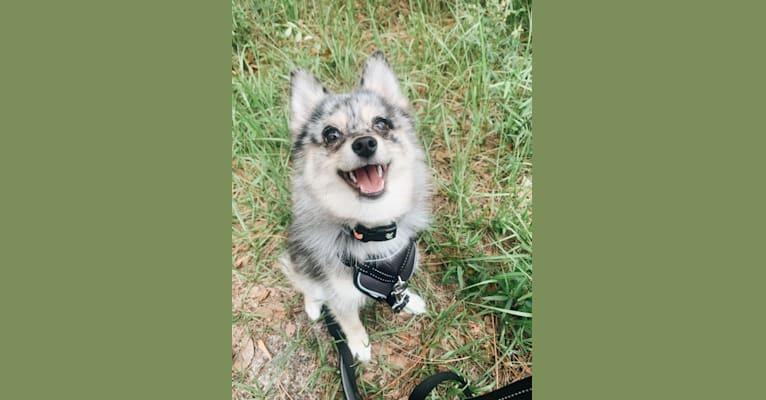 Photo of Nala, a Pomsky  in Jacksonville, FL, USA
