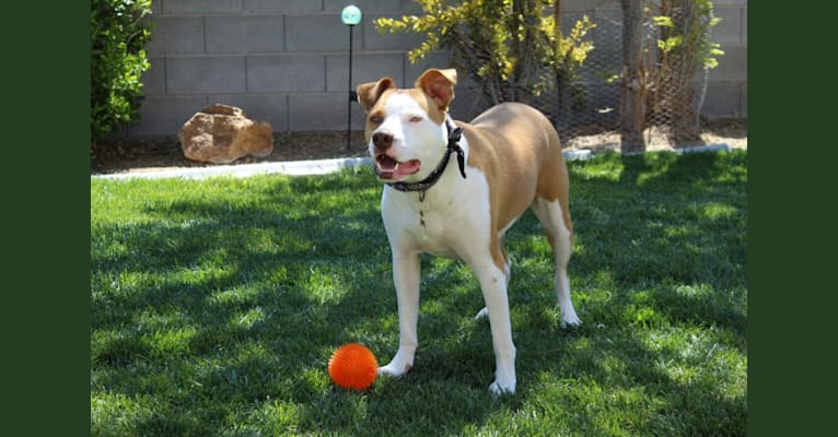 Photo of Sam, a Boxer, American Pit Bull Terrier, and German Shepherd Dog mix in Las Vegas, Nevada, USA