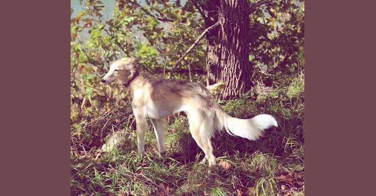 Photo of Lindy, a Silken Windhound  in Kokomo, IN, USA