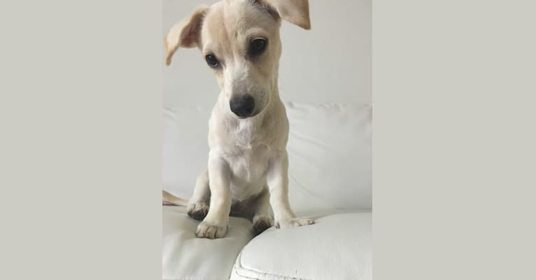 Photo of Sadie, a Dachshund, Chihuahua, and Mixed mix in Puerto Rico