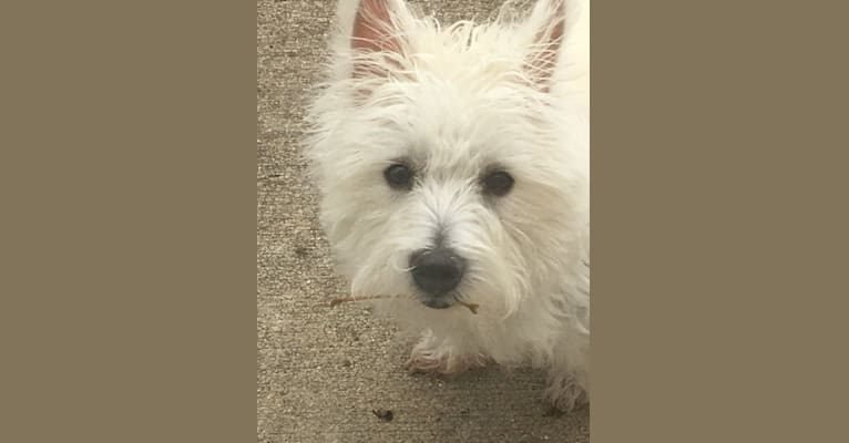 Photo of Skye, a West Highland White Terrier  in Morris Chapel, TN, USA
