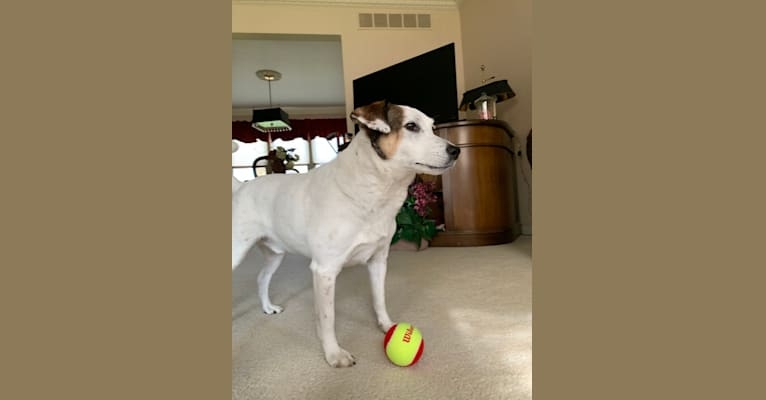 Photo of Ace, a Russell-type Terrier and Mountain Cur mix in LaPorte County, IN, USA