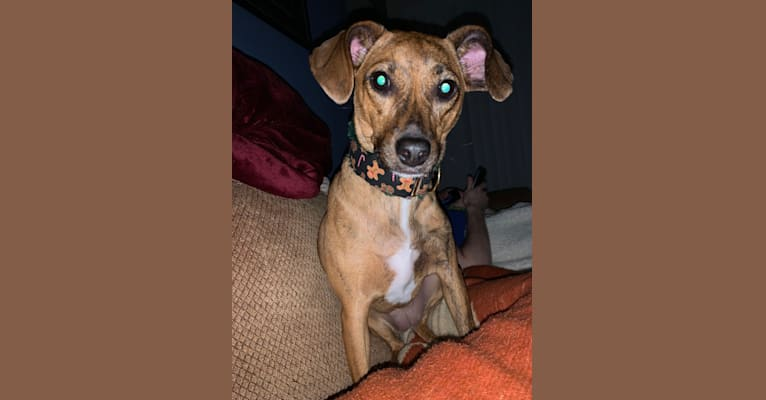 Photo of Arya, an American Pit Bull Terrier, Miniature Pinscher, Beagle, Dachshund, and Mixed mix in Tinley Park, IL, USA