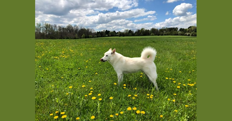 Photo of Bolt, an American Eskimo Dog and Mixed mix