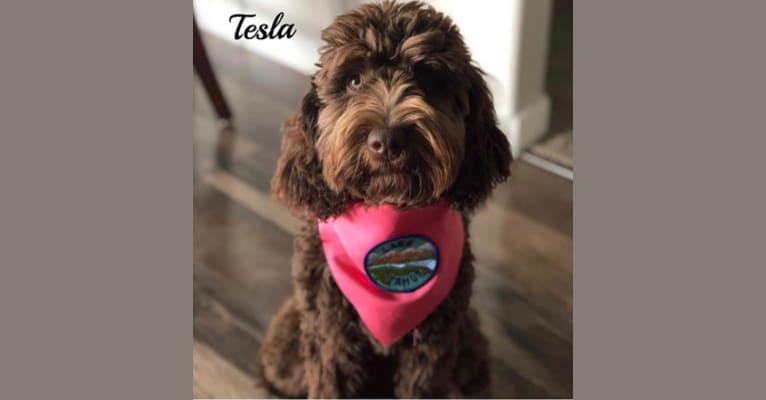 Photo of Tesla, a Goldendoodle