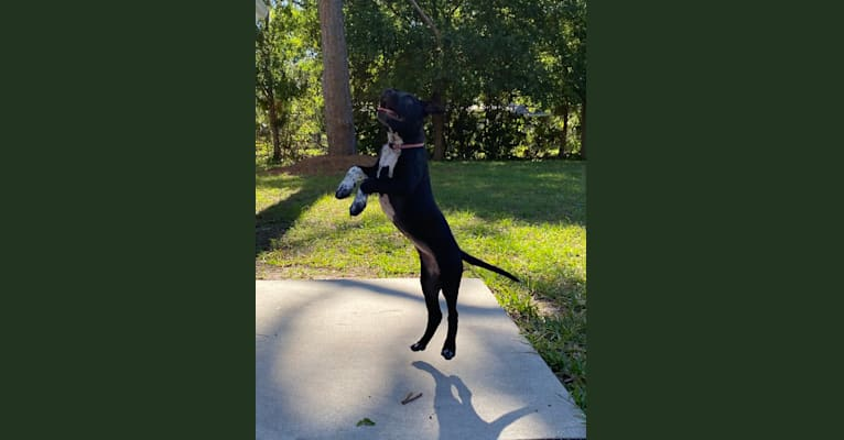 Photo of Twilight, an American Pit Bull Terrier and American Staffordshire Terrier mix in Tampa, Florida, USA