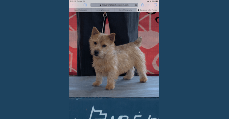Photo of Teddy Brown Dog, a Norwich Terrier  in Pennsylvania, USA