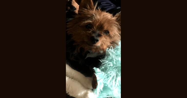 Photo of Shooter, a Yorkshire Terrier  in Cornwall, Ontario, Canada