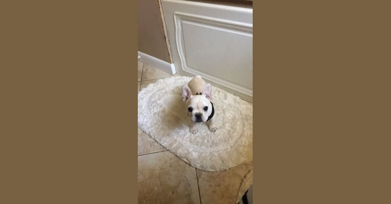 Photo of Milo, a French Bulldog  in Arkansas, USA