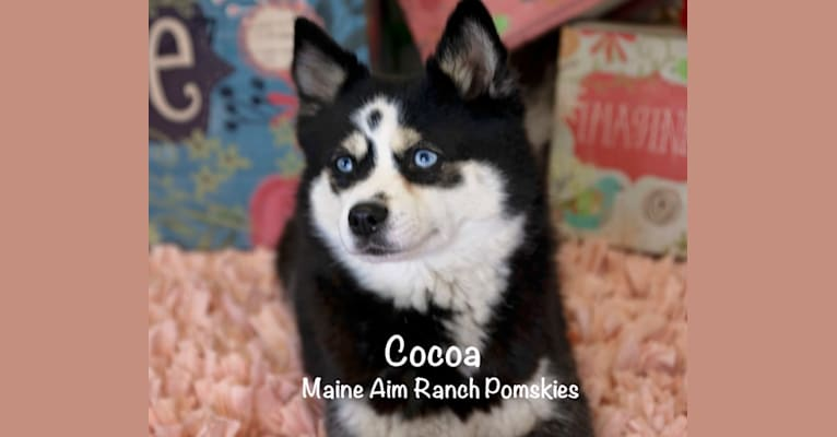 Photo of Cocoa, a Pomsky  in Maine Aim Ranch, King, Allerton, IA, USA