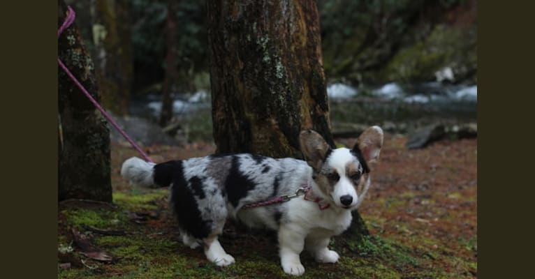 Photo of Julie, a Cardigan Welsh Corgi  in Moscow, Russia