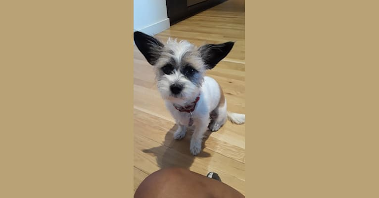 Photo of maggie, a Chihuahua, Shih Tzu, Poodle (Small), and Mixed mix in Kentucky, USA