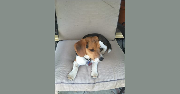 Photo of Niko, a Beagle  in Oakdale, Pennsylvania, USA
