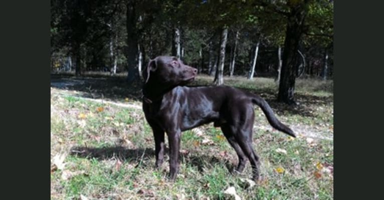 Photo of Jimmy, a Labrador Retriever mix in Hermann, Missouri, USA