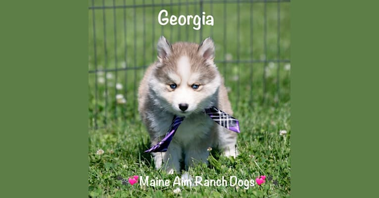 Photo of Georgia, a Pomsky  in Maine Aim Ranch, King, Allerton, IA, USA