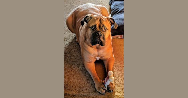 Photo of Stella, a Bullmastiff  in Meadville, Pennsylvania, USA