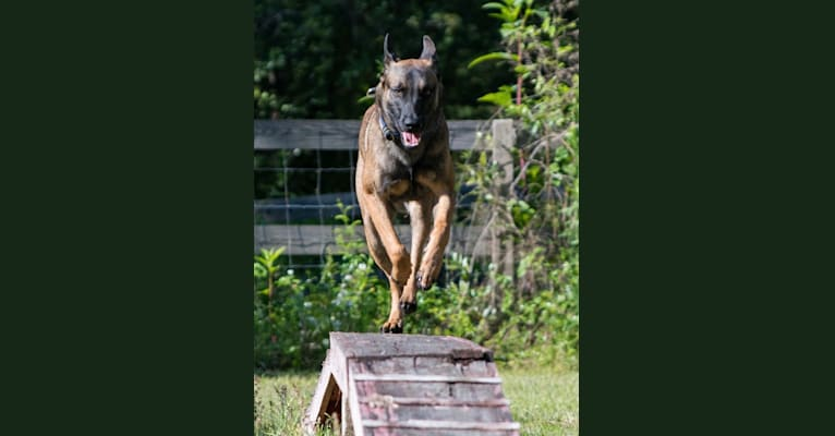 Photo of RedRocks Peaceful Easy Feeling (Milo), a Belgian Shepherd  in Andalusia, AL, USA