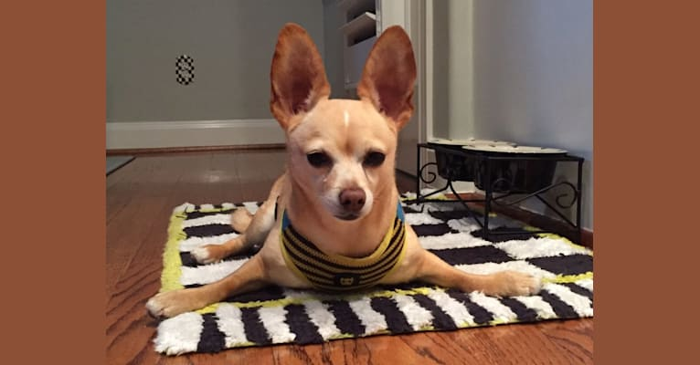 Photo of Puppet, a Pomeranian, Chihuahua, Poodle (Small), and Mixed mix in Los Angeles, California, USA