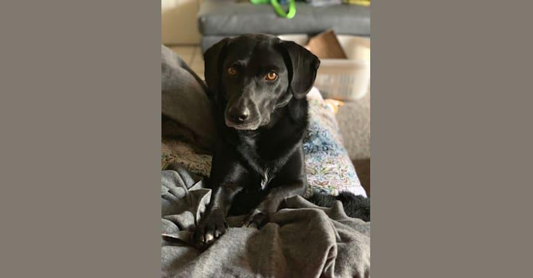 Photo of Daisy, a Border Collie, Labrador Retriever, Pembroke Welsh Corgi, Rottweiler, and Australian Shepherd mix in Aurora, Colorado, USA