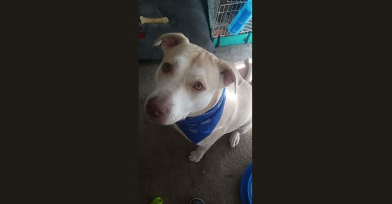 Photo of Brody, an American Pit Bull Terrier, Siberian Husky, and Mixed mix in Mobile, Alabama, USA