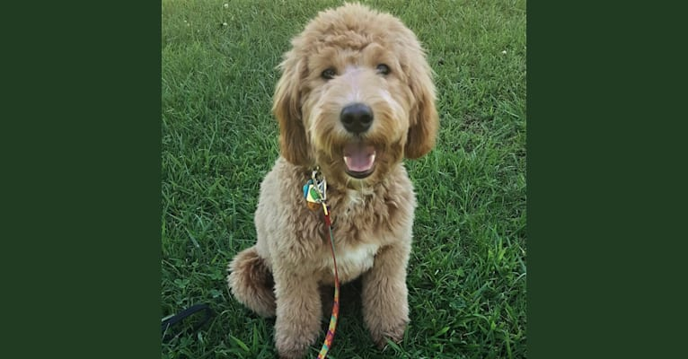 Photo of Kasey, a Goldendoodle