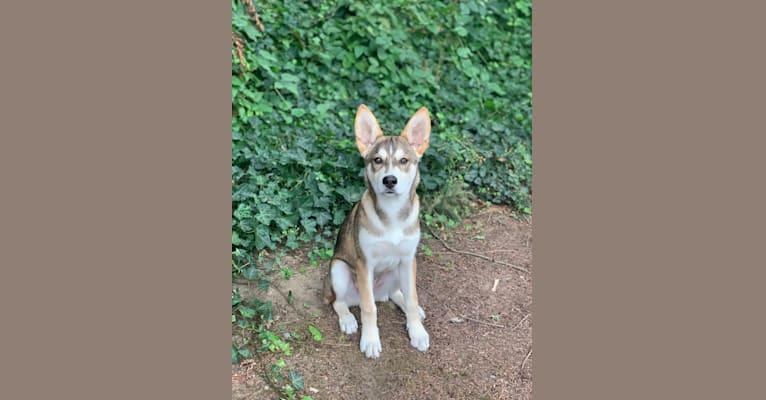 Photo of Theo, a Siberian Husky, German Shepherd Dog, Alaskan Malamute, Norwegian Elkhound, and Australian Cattle Dog mix in Texas, USA