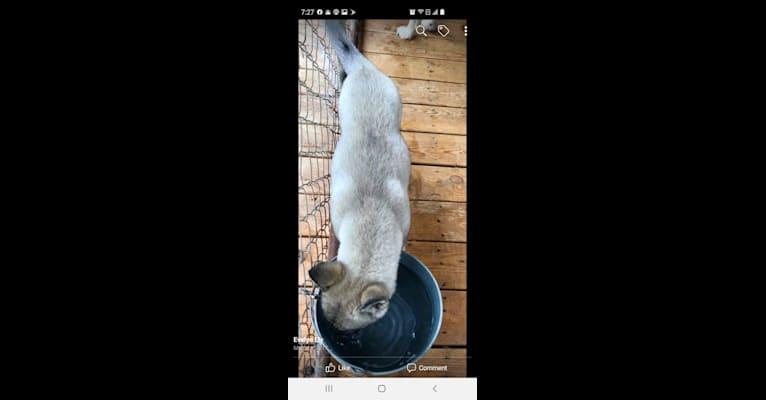 Photo of Indigo, a Siberian Husky