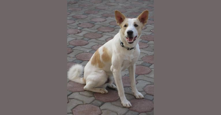 Photo of Ben, an Arabian Village Dog  in Sohar, Al Batinah North Governorate, Oman