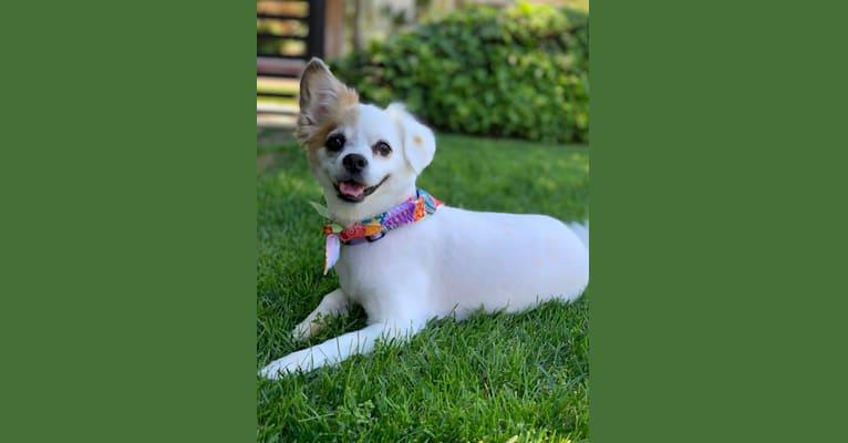 Photo of Oreo, a Pomeranian, Poodle (Small), Cocker Spaniel, Shih Tzu, and Mixed mix in Upland, California, USA