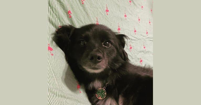 Photo of Ellie, a Pomeranian, Poodle (Small), Australian Shepherd, and Mixed mix in Edmonton, Kentucky, USA
