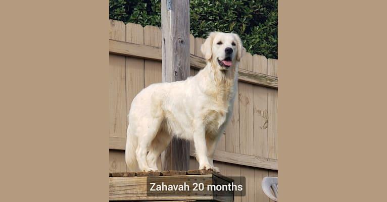 Photo of Zahavah, a Golden Retriever  in Dandridge, TN, USA