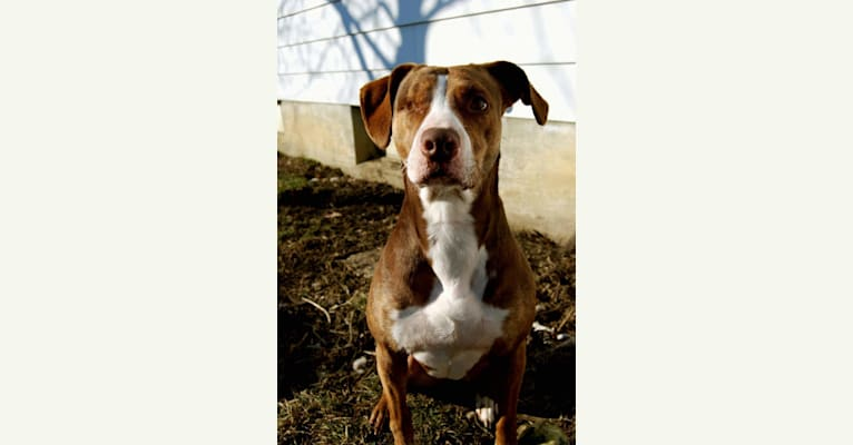 Photo of Josie, an American Pit Bull Terrier and English Springer Spaniel mix in Flint, Michigan, USA