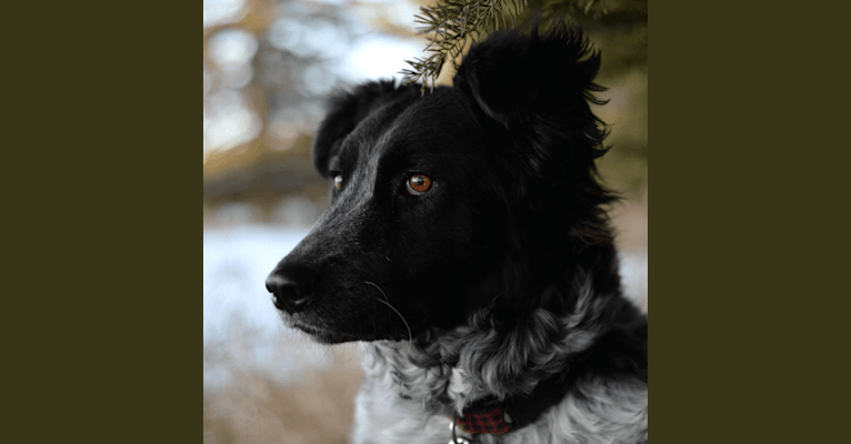 Photo of Hermes, an Australian Cattle Dog, Maremma Sheepdog, German Shepherd Dog, and Mixed mix in Gleichen, Alberta, Canada
