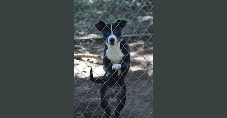 Photo of Karl, an American Pit Bull Terrier, Australian Shepherd, and American Staffordshire Terrier mix in Georgia