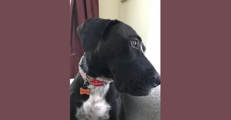 Photo of Barnaby, a Great Dane, Boxer, and American Pit Bull Terrier mix in Missouri, USA
