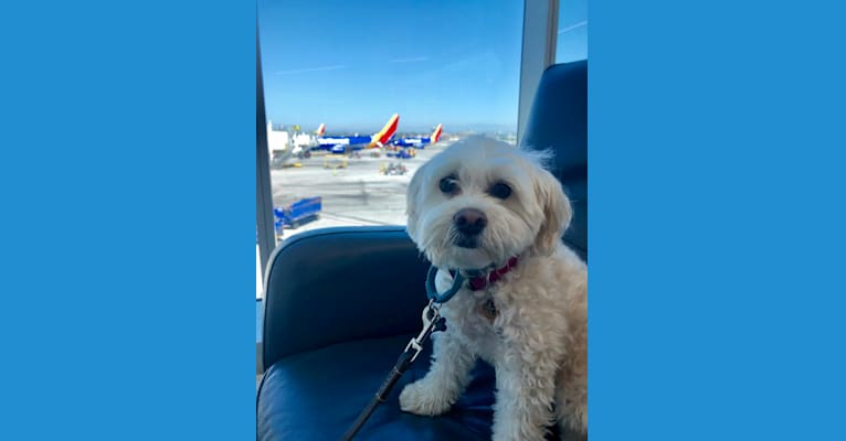 Photo of CALI, a Poodle (Small), Chihuahua, Miniature Pinscher, and Mixed mix in USA