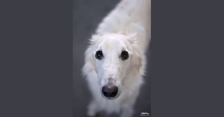Photo of Obie, a Silken Windhound  in Allentown, PA, USA