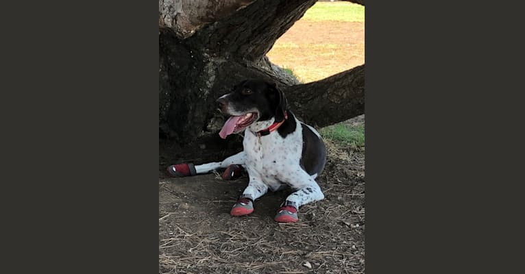 Photo of Moose, a German Shorthaired Pointer  in Los Angeles, California, USA