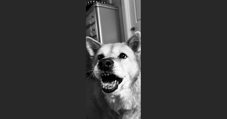 Photo of Phoebe Jean, a Jindo  in St. Augustine, Florida, USA