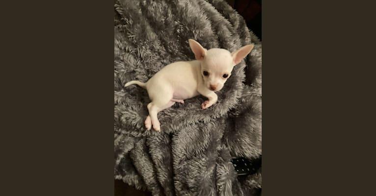 Photo of Yoko, a Chihuahua  in Miami, FL, USA