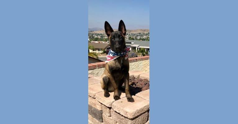 Photo of Hugo, a Belgian Malinois, Dutch Shepherd, and Mixed mix in El Cajon, CA, USA