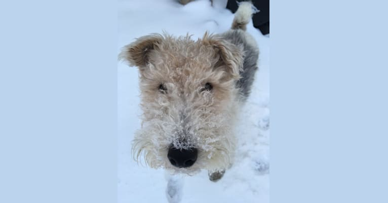 Photo of Paca, a Wire Fox Terrier  in Chicago, Illinois, USA