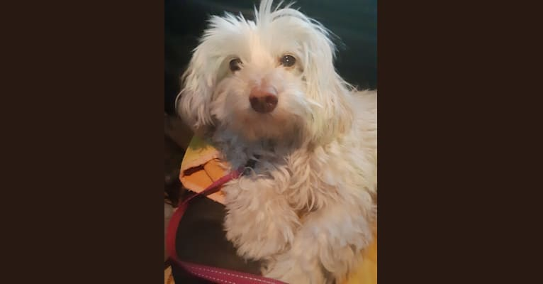 Photo of Madison, a Poodle (Small), Chihuahua, and Mixed mix in California, USA