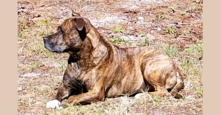 Photo of Francesca, an American Pit Bull Terrier (9.8% unresolved) in Palm Coast, Florida, USA